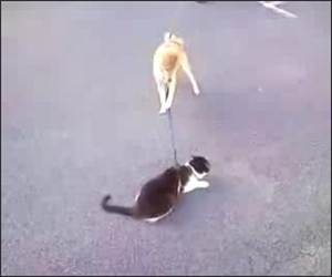 Dog wants to walk cat Funny Video