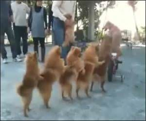 Doggy Conga Line Funny Video