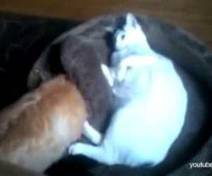 Dogs find cats in their beds Funny Video