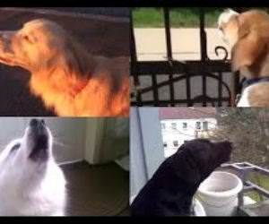 Dogs imitating Sirens Supercut Funny Video