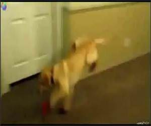Dogs in Boots Funny Video