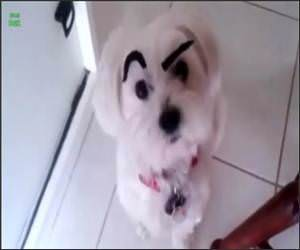 Dogs with Eyebrows Funny Video