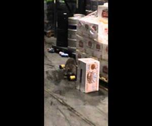 drunk racoon in warehouse Funny Video