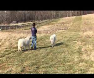 farmer goes for a little walk Funny Video