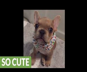 french bulldog says i love you Funny Video