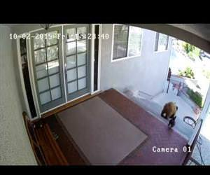 french bulldog scares bear away Funny Video