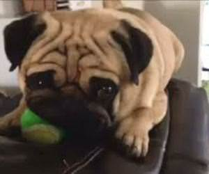Funny Pugs Compilation Funny Video