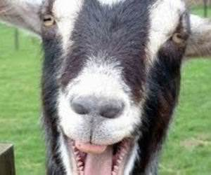 Goats screaming like humans Funny Video