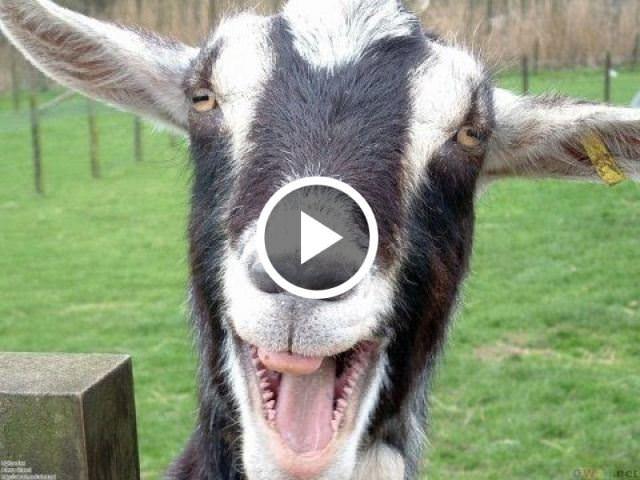 Animal+Xxnx Goats screaming like humans
