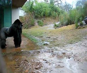 gorilla playing in the rain Funny Video