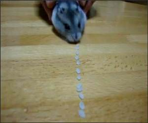 Funny Hamster Vacuum Video
