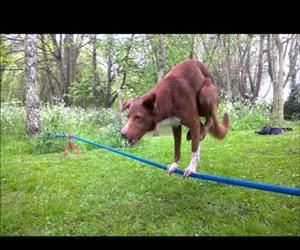 handstand on tightrope dog Funny Video