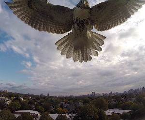 Hawk Vs Drone Funny Video