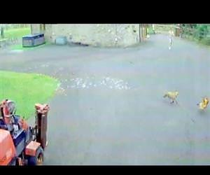 hilarious fox chasing a chicken Funny Video