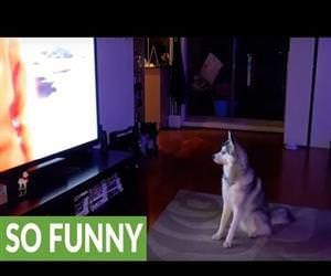 husky joining a pack of wolves Funny Video