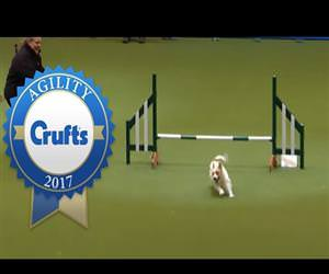 jack russell goes crazy at competition Funny Video
