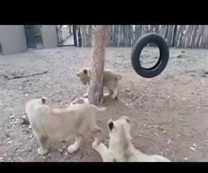 jack russl terrier vs lion cubs Funny Video