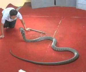 kissing a king cobra Funny Video