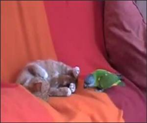 Kitten Vs Parrot Funny Video