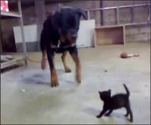 Kitten Vs Rottweiler Video