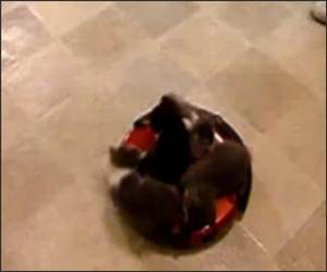 Roomba Driver Kittens Funny Video