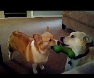 lab mix outsmarts corgi for his toy Funny Video