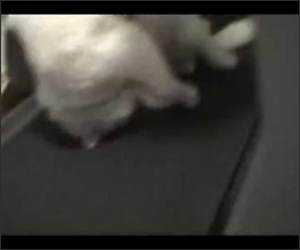 Lazy Cat on Treadmill
