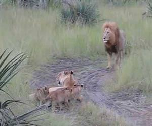 lion cubs attempting to roar Funny Video