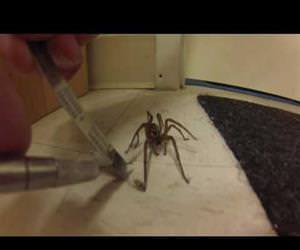 man frees wild wolf spider Funny Video
