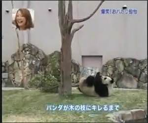 Panda Vs Tree Funny Video