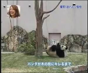 The Panda Vs the Tree Funny Video