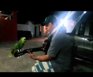 parrot and guitarist duet Funny Video