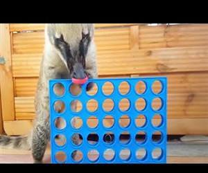 pet coati learns to play connect 4 Funny Video