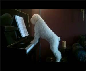 Piano Playing Dog Funny Video