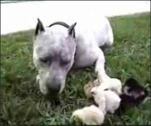 Pitbull with Chicks