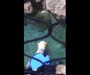 Polar Bear Funny Video