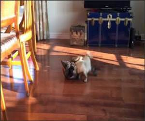 Pug Vs Cat Battle Funny Video