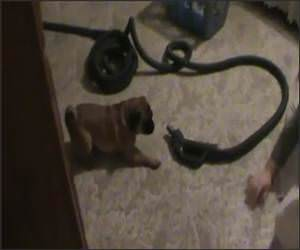 Puggle Vs Vacuum Funny Video