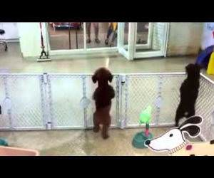 puppy excited to see owner Funny Video