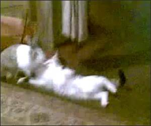 Rabbit Vs Cat Funny Video