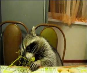 Racoon Eating Grapes Funny Video
