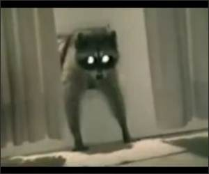 Racoon Steals a carpet