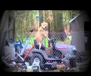 reporter notices dog riding lawnmower Funny Video