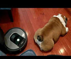 roomba vs a bulldog Funny Video