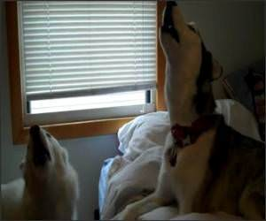 Siberian Huskies Howl Off
