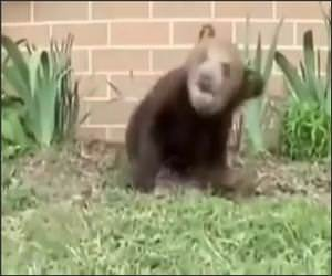 Sneezing Bear Funny Video