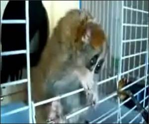 Sonya the Lemur Video