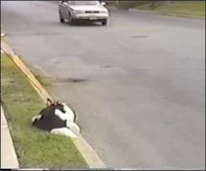 Cars make dog spin Funny Video