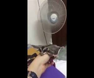 sugar glider flying with fan Funny Video
