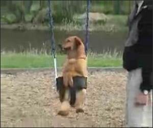 Swing Dog Funny Video